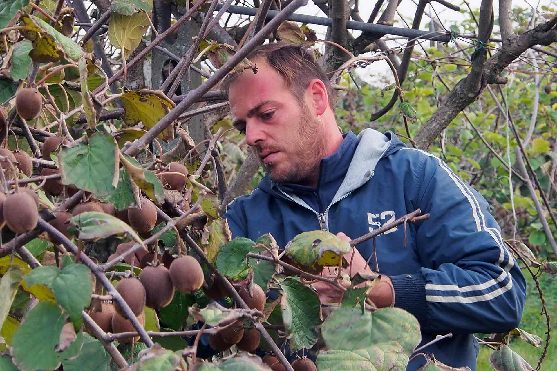 uomo che raccoglie la frutta