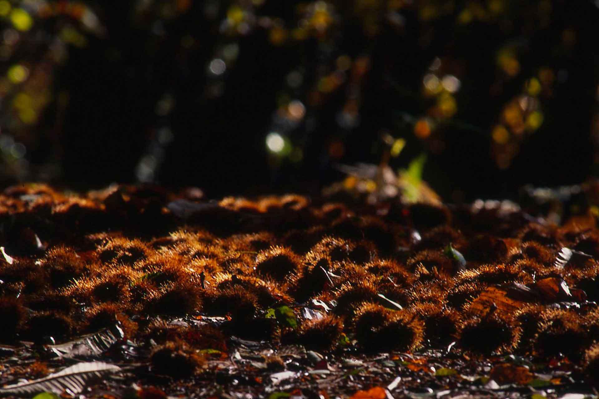 foliage: castagne nei boschi