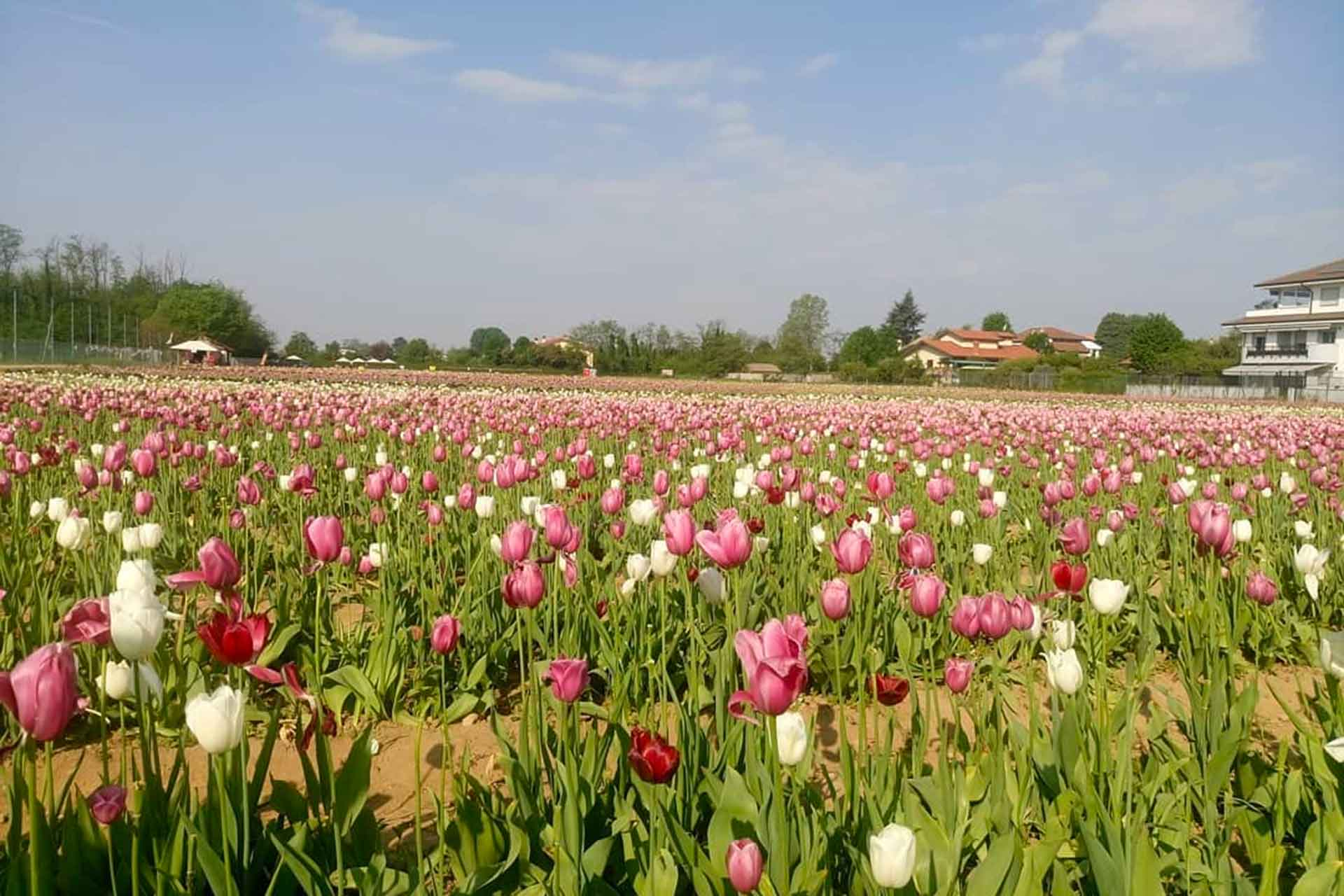 Primavera: campo di tulipani a milano